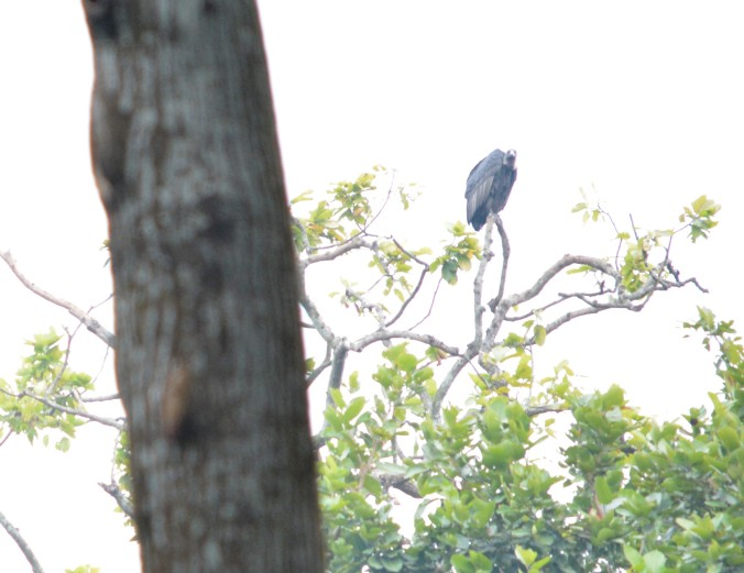 Assam 9b. Rajpura Vulture Conservation Area in Kokhrajhar (Assam)