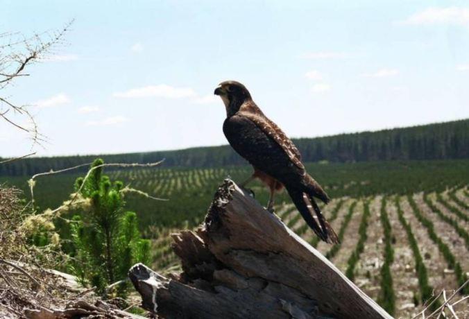 Falcon_NZ